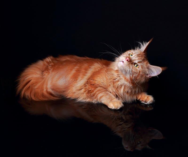 Gato de mapache sólido rojo femenino de Maine curiosamente que mira para arriba con el reflec foto de archivo