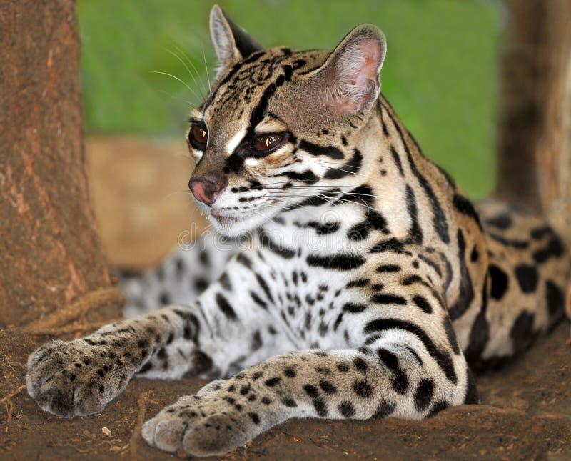 Gato de Margay ou Caucel, reserva felino, Nicarágua, fotos de stock royalty free