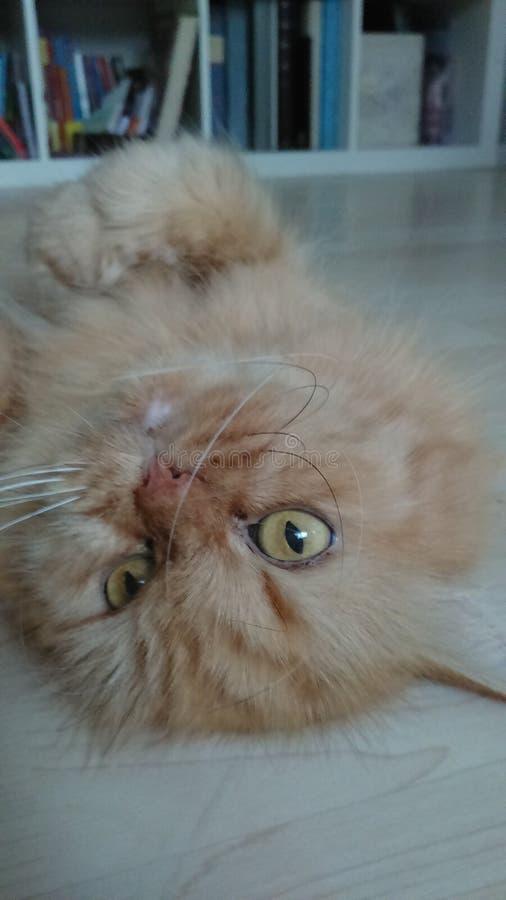 Gato de Mimie The imagen de archivo libre de regalías
