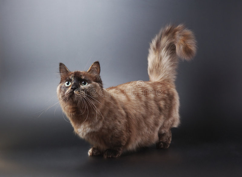 Gato de Munchkin fotos de archivo