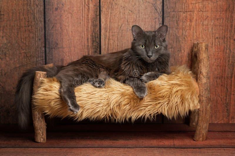 Gato de Nebelung en una pequeña cama de madera imagen de archivo