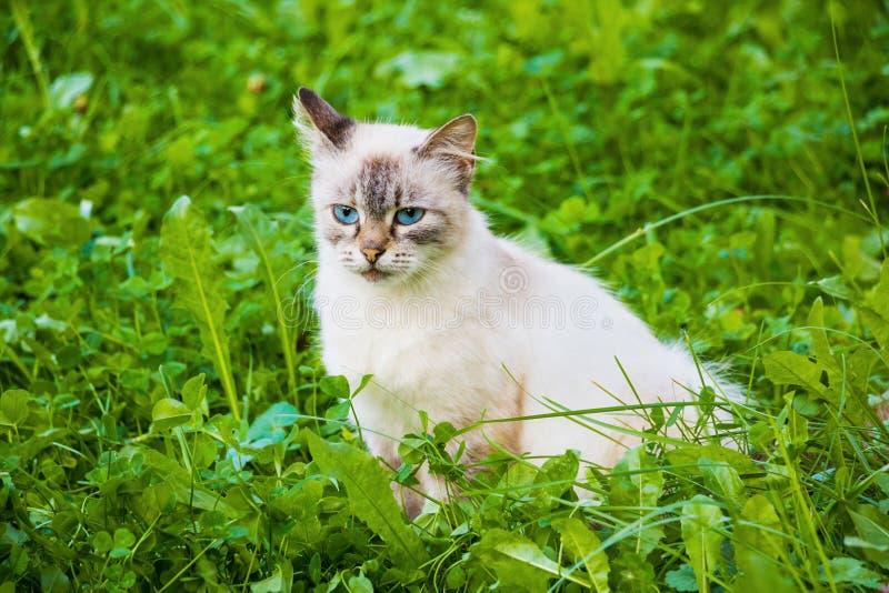 Gato de Neva Masquerade (gatito) con los ojos azules que se sientan en hierba verde fotos de archivo libres de regalías