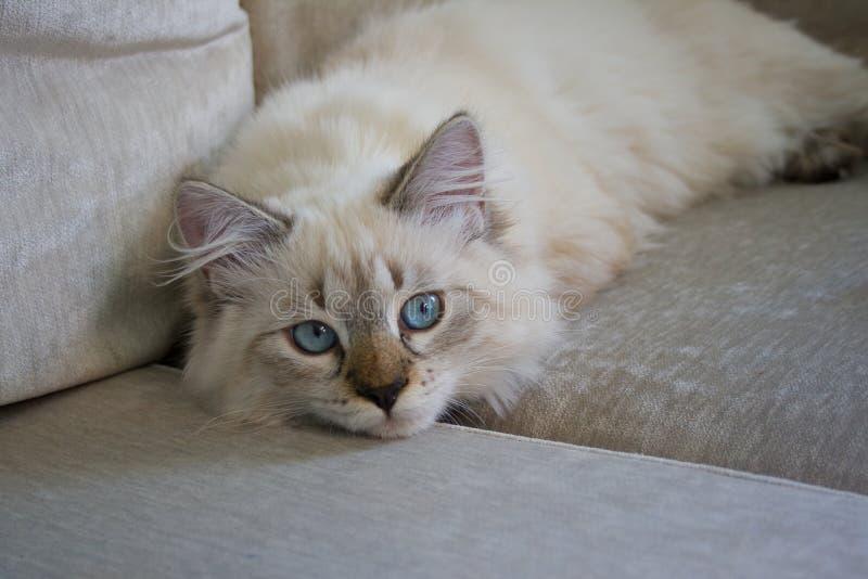 Gato de Neva Masquerade Gatito 5 meses, con e azul saturada fotos de archivo