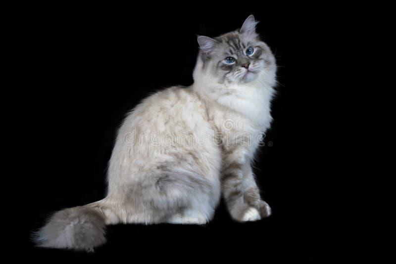 Gato de ojos azules mullido blanco divertido aislado en negro imagen de archivo libre de regalías