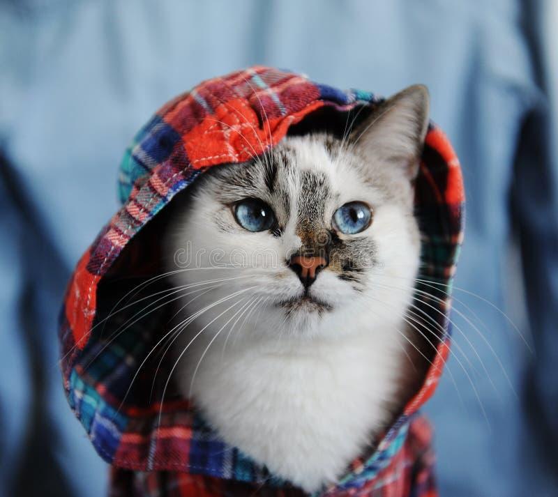 Gato de ojos azules mullido blanco vestido en camisa a cuadros con una capilla Retrato cercano en fondo del dril de algodón Mirad foto de archivo libre de regalías