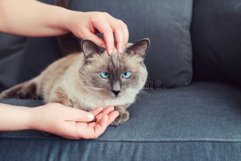 gato de olhos azuis do colorpoint que encontra-se no sofá do sofá fotos de stock royalty free