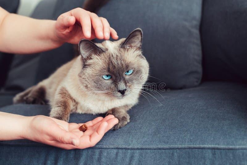gato de olhos azuis do colorpoint que encontra-se no sofá do sofá imagem de stock
