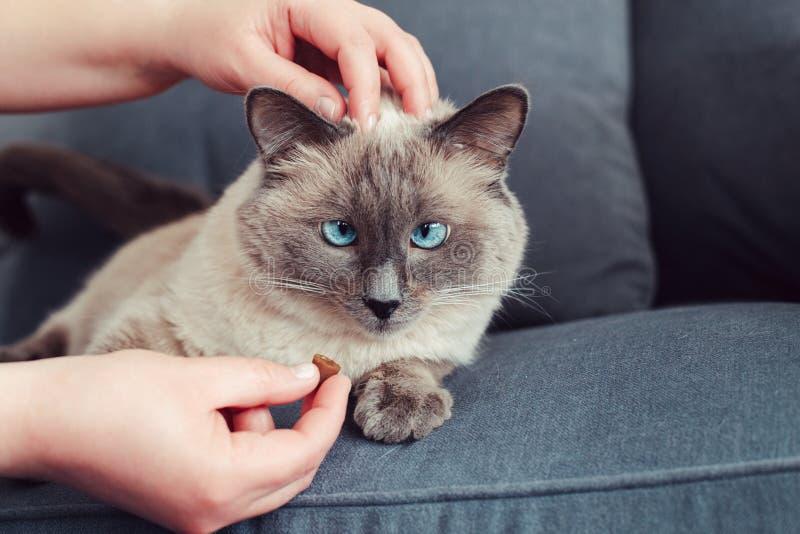 gato de olhos azuis do colorpoint que encontra-se no sofá do sofá imagens de stock