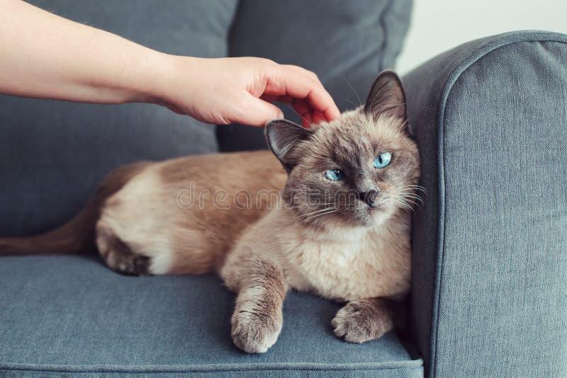 gato de olhos azuis do colorpoint que encontra-se no sofá do sofá fotografia de stock royalty free