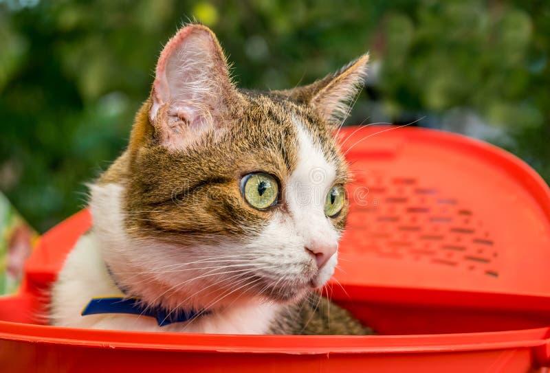 Gato de olhos verdes doméstico agradável foto de stock