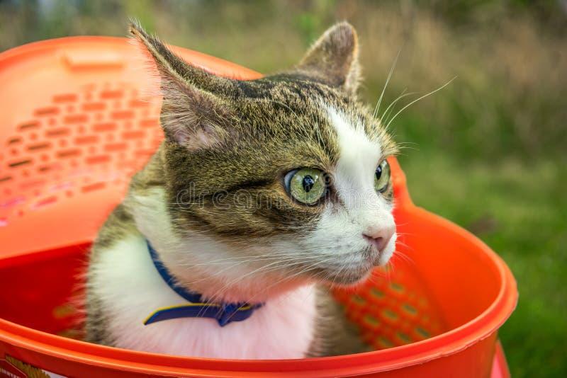 Gato de olhos verdes doméstico bonito foto de stock