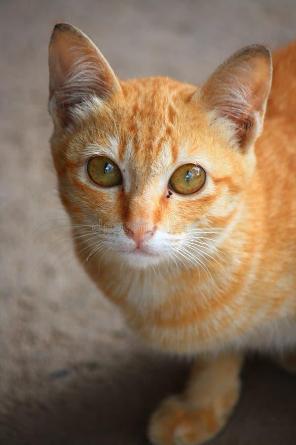 Gato de Orage que le mira imagenes de archivo