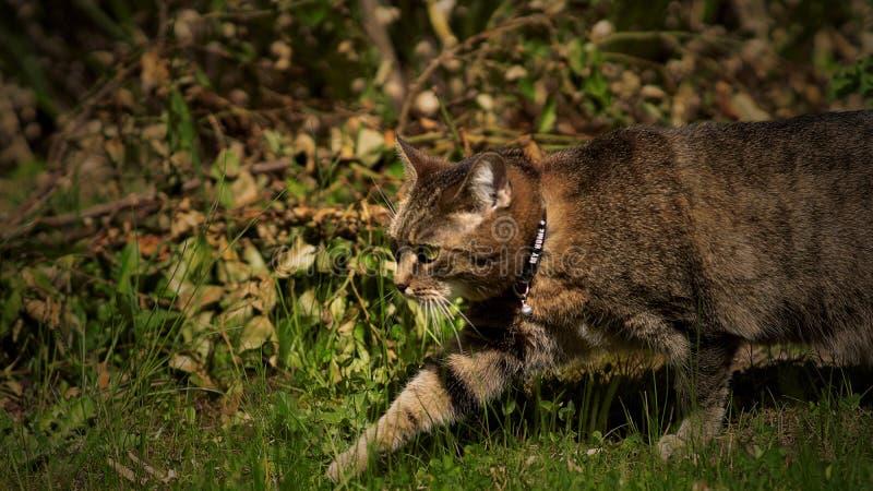 Gato de passeio em gras verdes fotografia de stock royalty free