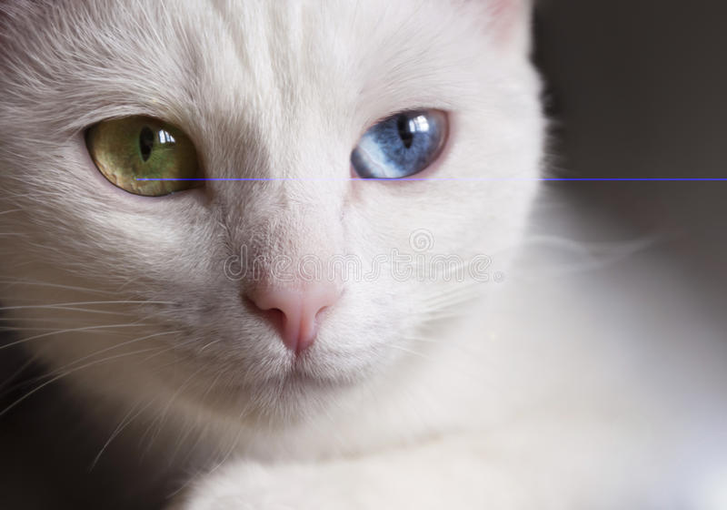 Gato de pedigrí blanco como la nieve hermoso con diversos ojos multicolores asombrosos en un día soleado imágenes de archivo libres de regalías