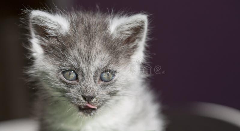 Gato de pelo largo hermoso con los ojos azules fotografía de archivo