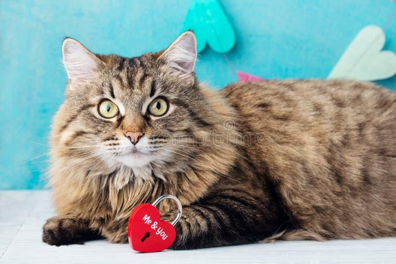 Gato de pelo largo siberiano con el candado en forma de corazón Fondo rom?ntico azul foto de archivo