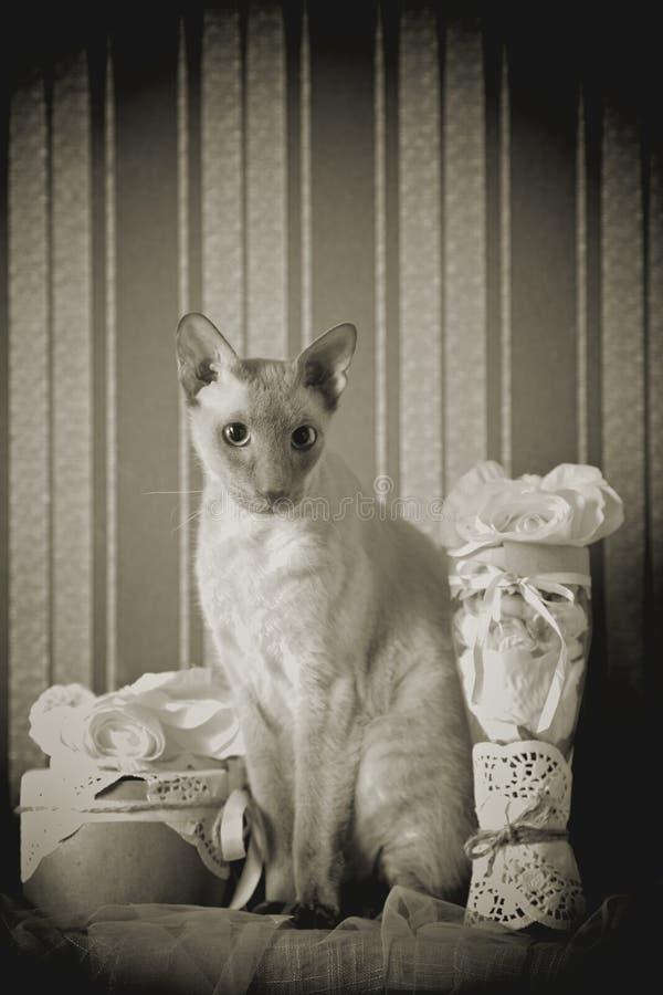Gato de Peterbald imagen de archivo libre de regalías