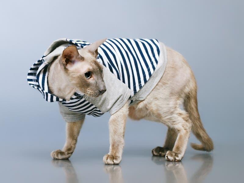 Gato de Peterbald en sudadera con capucha fotografía de archivo libre de regalías