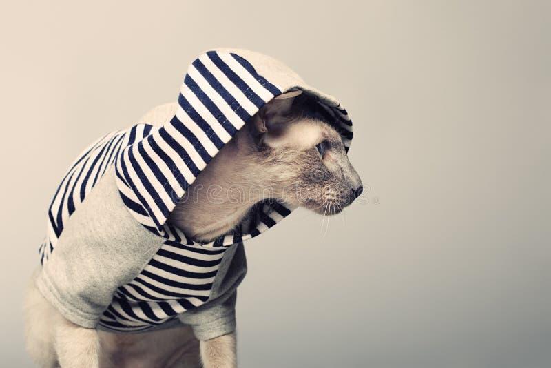 Gato de Peterbald en sudadera con capucha imagen de archivo libre de regalías