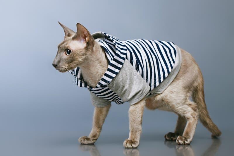 Gato de Peterbald en sudadera con capucha foto de archivo