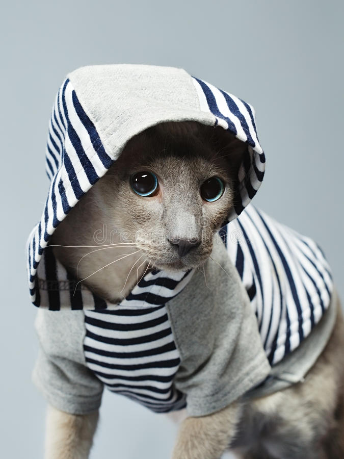 Gato de Peterbald en sudadera con capucha imágenes de archivo libres de regalías