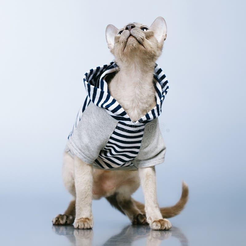 Gato de Peterbald en sudadera con capucha foto de archivo libre de regalías