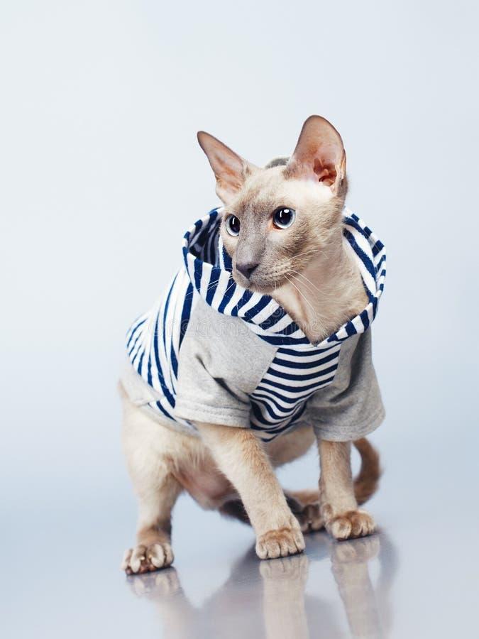 Gato de Peterbald en sudadera con capucha imagenes de archivo