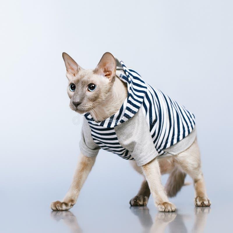 Gato de Peterbald en sudadera con capucha imagen de archivo