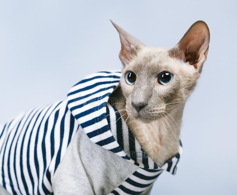 Gato de Peterbald en sudadera con capucha fotos de archivo libres de regalías