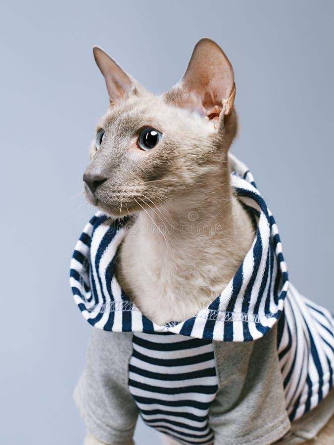 Gato de Peterbald en sudadera con capucha fotos de archivo