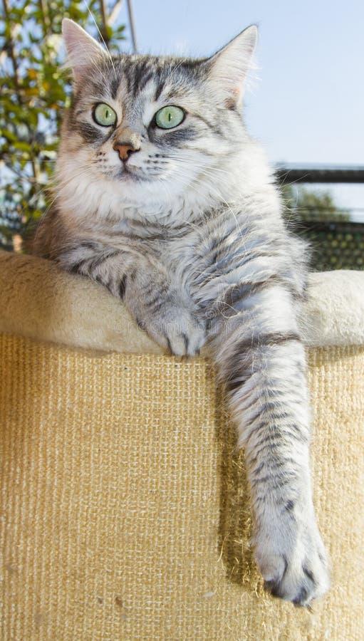 Gato de plata en los posts de rasguño imagen de archivo libre de regalías