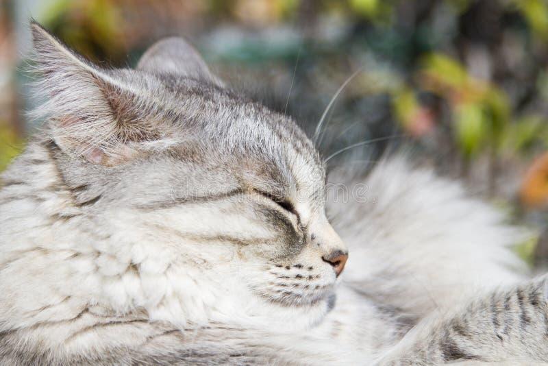 Gato de plata en los posts de rasguño foto de archivo libre de regalías