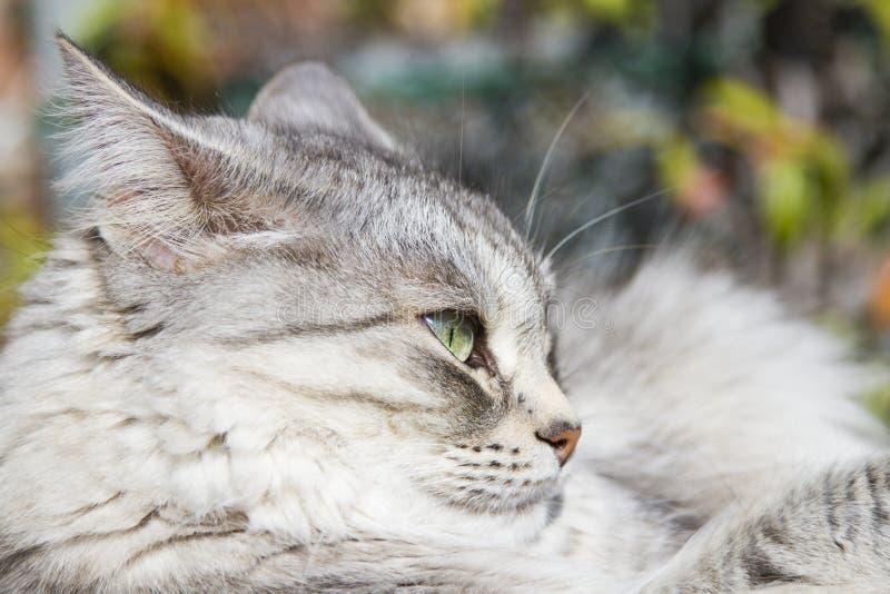 Gato de plata en los posts de rasguño imagen de archivo