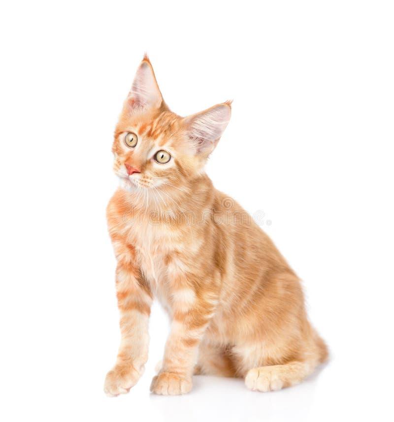Gato de racum curioso de maine que olha a câmera Isolado no branco imagem de stock royalty free