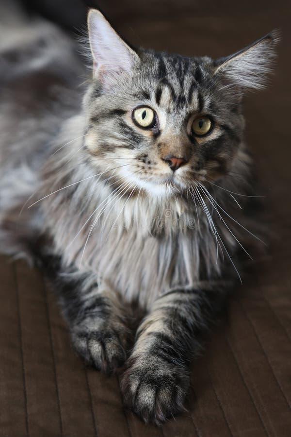 Gato de racum novo de maine em um fundo marrom Gato bonito foto de stock