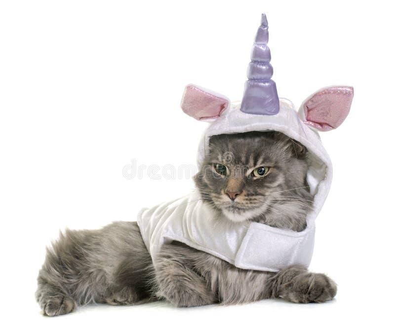 Gato de racum vestido de maine fotos de stock royalty free