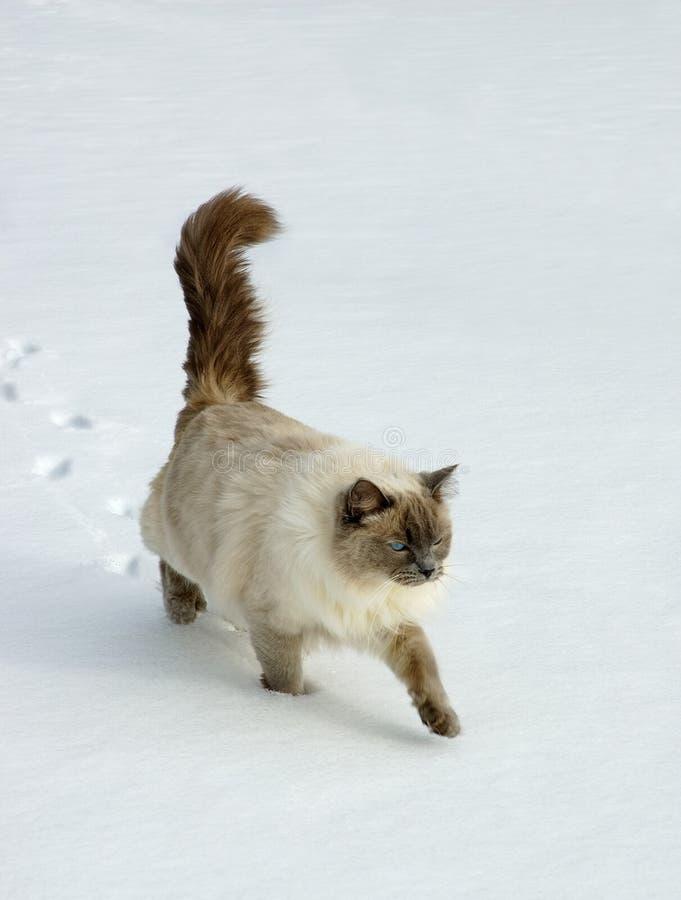 Gato de Ragdoll fotografia de stock