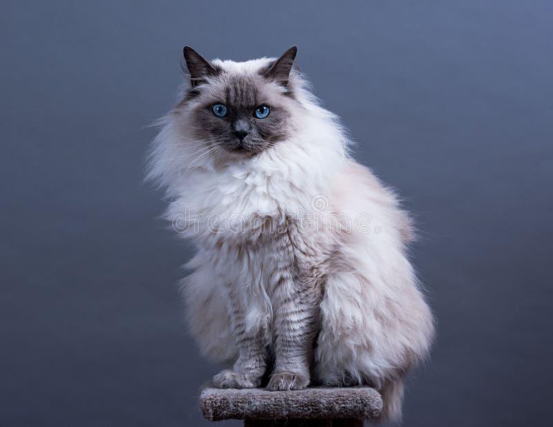 Gato de Ragdoll do ponto azul foto de stock