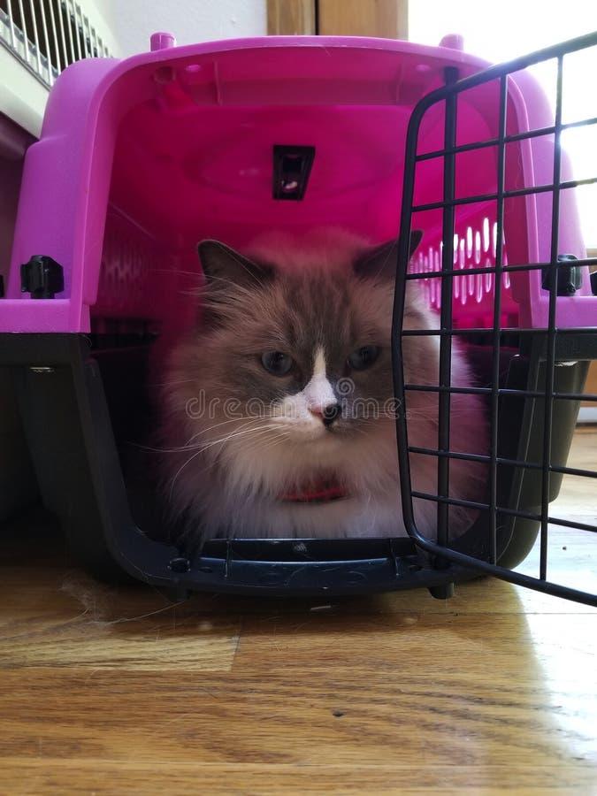 Gato de Ragdoll em um portador imagens de stock