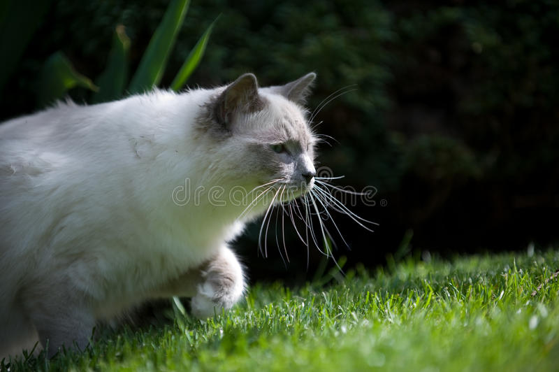 Gato de Ragdoll en el vagabundeo imagen de archivo