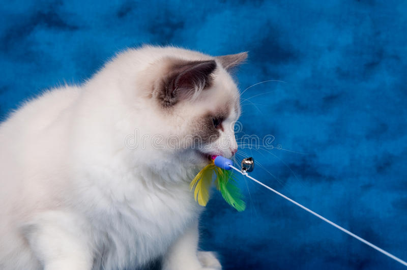 Gato de Ragdoll que joga com o brinquedo no azul foto de stock