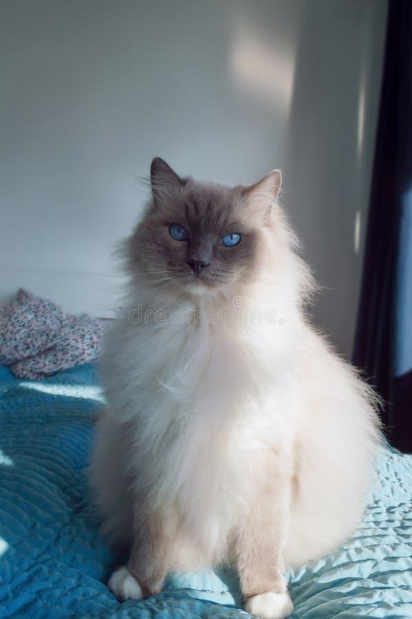 Gato de Ragdoll que senta-se na cama fotografia de stock royalty free