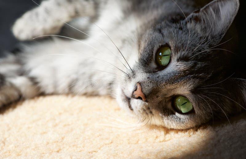 Gato de reclinación en el fondo casero natural en una sombra, cierre perezoso de la cara del gato para arriba, pequeño gato perez foto de archivo libre de regalías