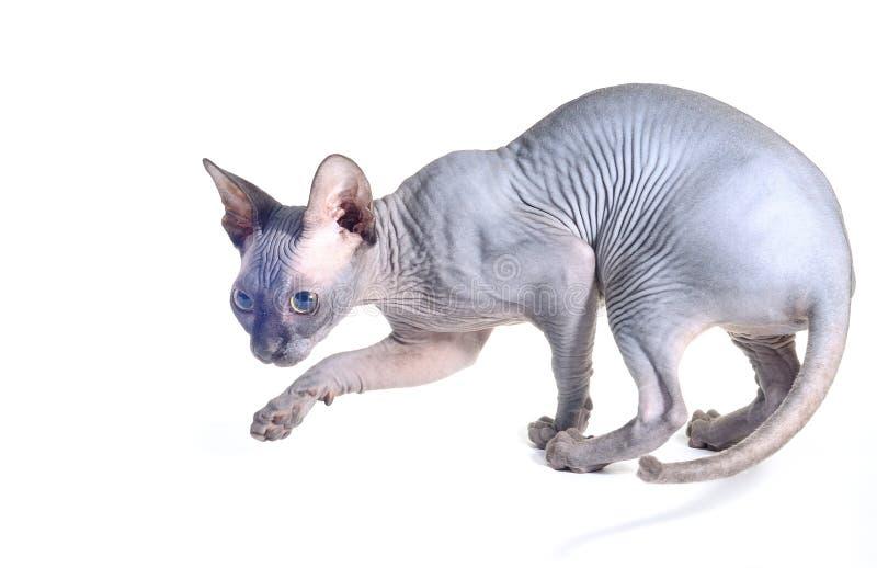 Gato de Sfinx aislado en blanco fotos de archivo