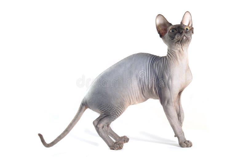 Gato de Sfinx aislado en blanco fotografía de archivo libre de regalías