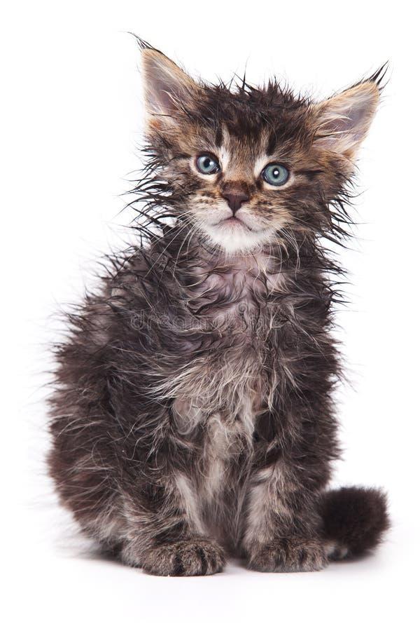 Gato de Sibirian imagens de stock