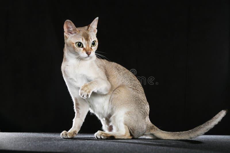 Gato de Singapura foto de stock