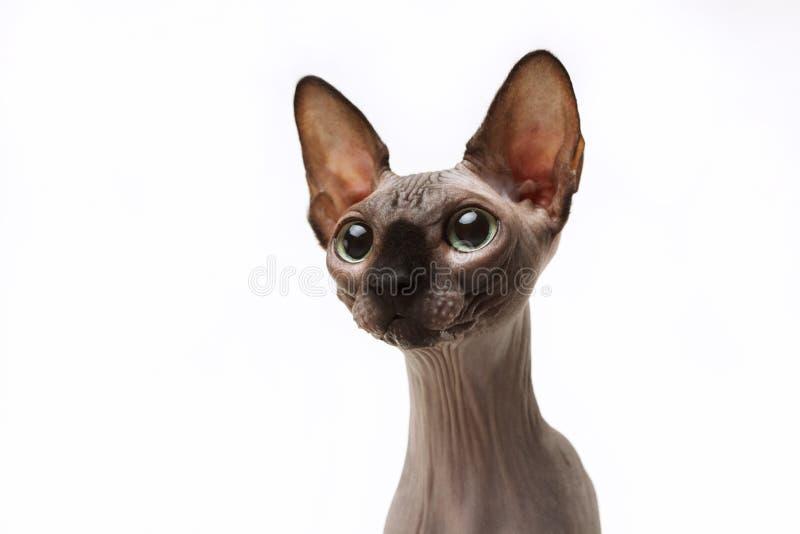 Gato de Sphynx fotografia de stock