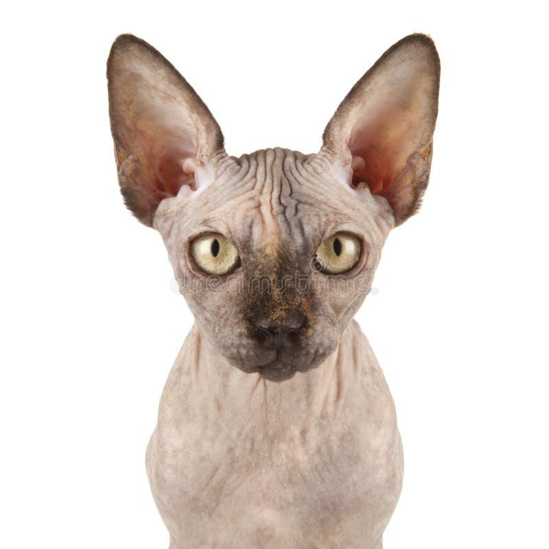 Gato De Sphynx Fotografía de archivo libre de regalías