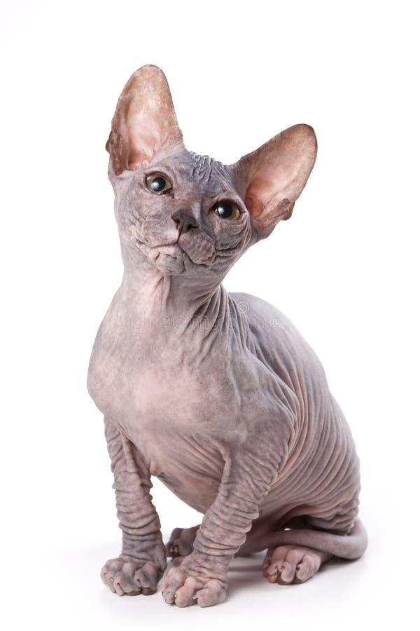 Gato de Sphynx foto de stock